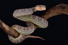 Mangrove pit viper Trimeresurus purpureomaculatus Stock Images