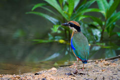 Mangrove Pitta Stock Fotografie