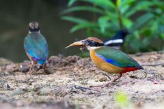 Mangrove Pitta On The Ground Royalty Free Stock Images