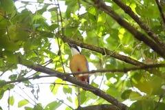 Mangrove Pitta Royalty Free Stock Photos