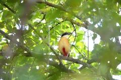 Mangrove Pitta Royalty Free Stock Image