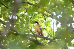 Mangrove Pitta Royalty Free Stock Photo