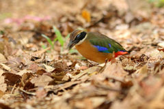 Mangrove Pitta Nictitating Membrane Stock Photography