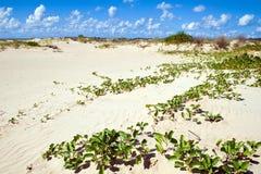 Mangrove plant covers sandy beach. Stock Photo