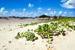 Mangrove plant covers sandy beach. Royalty Free Stock Photography