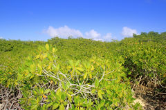 Mangrove plant detail in sunny day blue sky Royalty Free Stock Photos