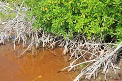 Mangrove plant red water and aerial roots blue sky Stock Image
