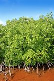 Mangrove plant red water and aerial roots blue sky Royalty Free Stock Images