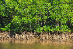 Mangrove plant in sea shore aerial roots Stock Image