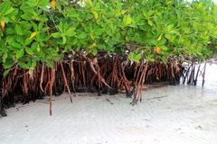 Mangrove plant in sea shore aerial roots Caribbean Royalty Free Stock Photo