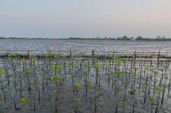 Mangrove planting Stock Photography