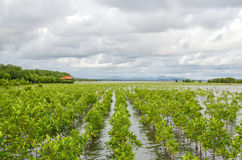 Mangrove planting project area in thailand for preserve the mang. Rove forest in thailand Royalty Free Stock Images