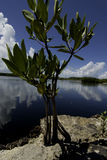 Mangrove plants. Growing in coral and rocks along the ocean in the Florida keys Stock Images