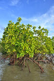 Mangrove plants Royalty Free Stock Photography