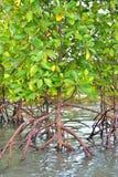Mangrove plants Stock Photography