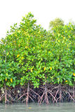 Mangrove plants Stock Photos