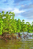 Mangrove plants Stock Images