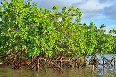 Mangrove plants Stock Photography