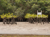Mangrove plants. Mangroves plants starters in the Everglades Royalty Free Stock Image