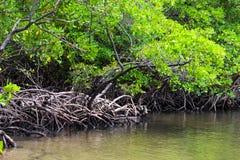 Mangrove in Praia-DOS Carneiros, Pernambuco, Brasilien Lizenzfreie Stockfotografie
