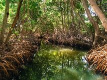 Mangrove in protection on the island of Margarita stock image