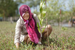 Mangrove reforestation Royalty Free Stock Image