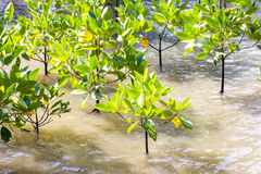 Mangrove reforestation Royalty Free Stock Photos