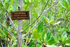 Mangrove. Rhizophora Mangrove fruits in full bloom Stock Photos