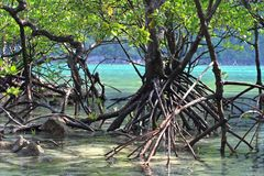 Mangrove root. Royalty Free Stock Images