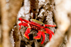 Mangrove Root Crab Stock Photography