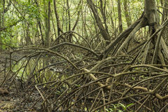Mangrove Root System Stock Photo