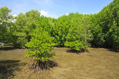 Mangrove and Roots Stock Image