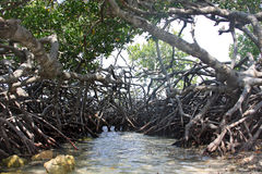 Mangrove roots Stock Images