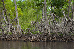 Mangrove Roots. A mangrove forest and its distinctive root system royalty free stock photo