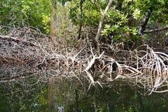 Mangrove roots Royalty Free Stock Photos