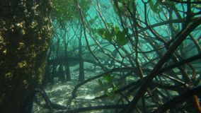 Mangrove roots in close up. A shot of mangrove roots under a turquoise sea water. Beside the growing mangroves are rock formations stock video footage
