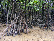 Mangrove Roots Royalty Free Stock Images