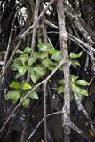 Mangrove roots and leaves Stock Photography