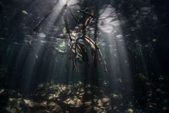 Mangrove Roots and Light Underwater Stock Photos