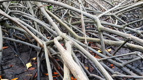 Mangrove roots for Environment Royalty Free Stock Images