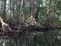 Mangrove roots. Mangrove with prop roots in murky water Stock Images