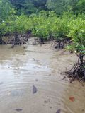 Mangrove roots. Mangrove with prop roots in murky water Royalty Free Stock Photo