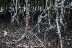 Mangrove roots Royalty Free Stock Image