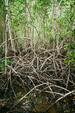 Mangrove roots reach into shallow water in a forest growing in t Stock Images
