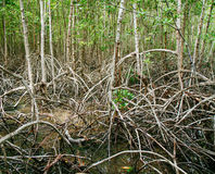 Mangrove roots reach into shallow water in a forest growing in t Royalty Free Stock Photography