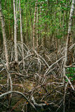 Mangrove roots reach into shallow water in a forest growing in t Royalty Free Stock Image