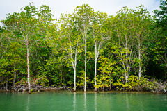 Mangrove roots reach into shallow water in a forest growing in t Royalty Free Stock Photo
