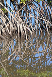 Mangrove. Roots reflected in the swamp waters Royalty Free Stock Images