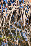 Mangrove. Roots reflected in the swamp waters Royalty Free Stock Photography