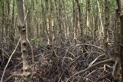 Mangrove roots . roots mangrove forest in rain forest. Forest of Mangroves or Golden Mangrove Field. Roots of mangrove forest when sea water run down stock photo